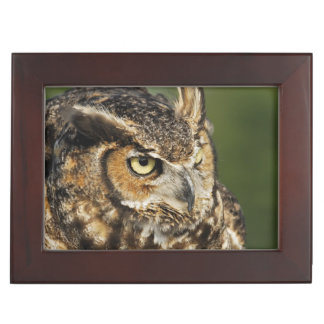 Great Horned Owl, Bubo virginianus, Captive Keepsake Box