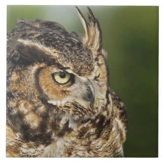 Great Horned Owl, Bubo virginianus, Captive Large Square Tile