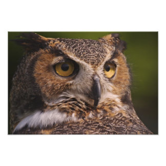 Great Horned Owl, Bubo virginianus Photo Print