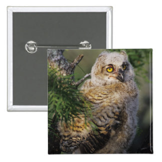 Great Horned Owl, Bubo virginianus, young in 15 Cm Square Badge