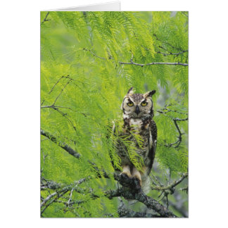 Great Horned Owl, Bubo virginianus , young in Card