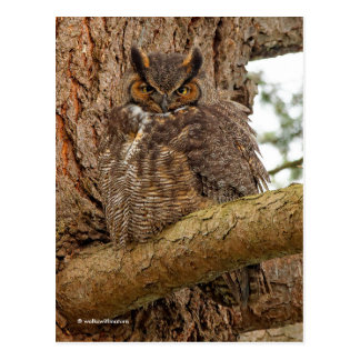 Great Horned Owl in the Douglas Fir Postcard