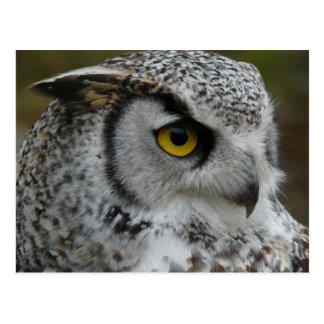 Great Horned Owl Photograph Postcard