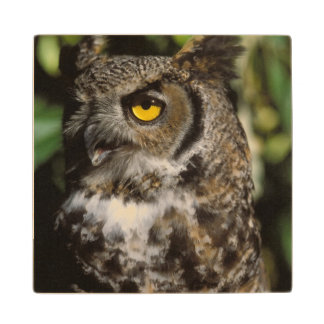 great horned owl, Stix varia, in the Anchorage Wood Coaster