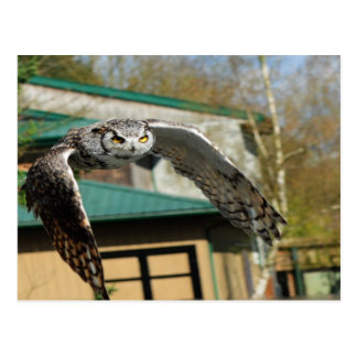 Great Horned Owl Yellow eye Post Cards