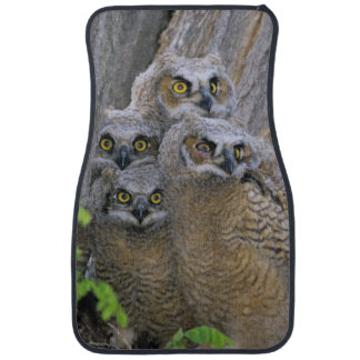 Great Horned Owlets (Bubo virginianus) nest in a Car Mat