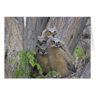 Great Horned Owlets (Bubo virginianus) nest in a Card