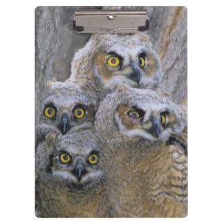 Great Horned Owlets (Bubo virginianus) nest in a Clipboard