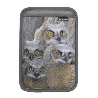 Great Horned Owlets (Bubo virginianus) nest in a iPad Mini Sleeve
