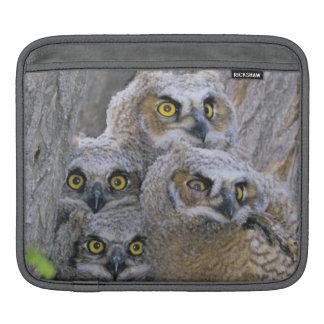 Great Horned Owlets (Bubo virginianus) nest in a iPad Sleeve