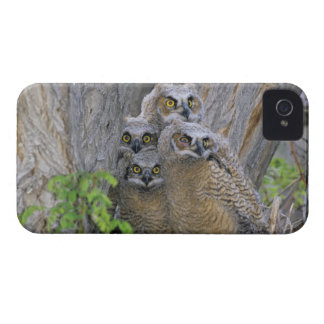 Great Horned Owlets (Bubo virginianus) nest in a iPhone 4 Case