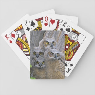 Great Horned Owlets (Bubo virginianus) nest in a Playing Cards