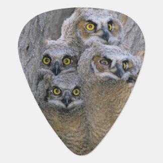 Great Horned Owlets (Bubo virginianus) nest in a Plectrum