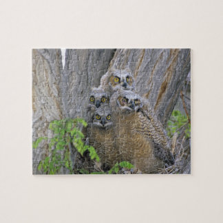 Great Horned Owlets (Bubo virginianus) nest in a Puzzle