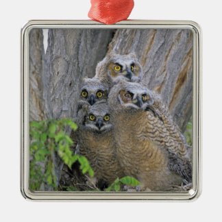 Great Horned Owlets (Bubo virginianus) nest in a Silver-Colored Square Decoration