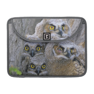Great Horned Owlets (Bubo virginianus) nest in a Sleeve For MacBook Pro