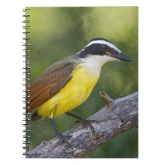 Great Kiskadee adult perched Notebook