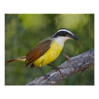 Great Kiskadee adult perched Poster