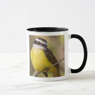 Great Kiskadee Pitangus sulphuratus) adult Mug