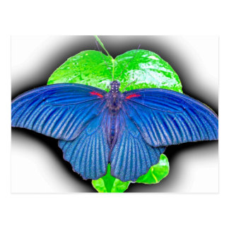 Great Mormon Butterfly Post Cards