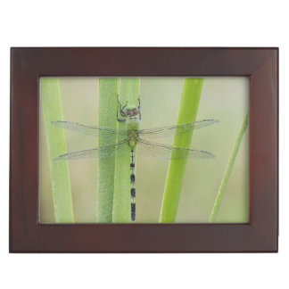 Great Pondhawk , Erythemis vesiculosa, adult Keepsake Box