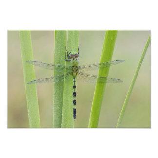 Great Pondhawk , Erythemis vesiculosa, adult Photo Print