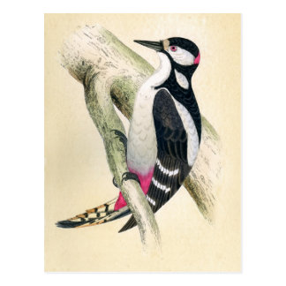 Great Spotted Woodpecker Postcard
