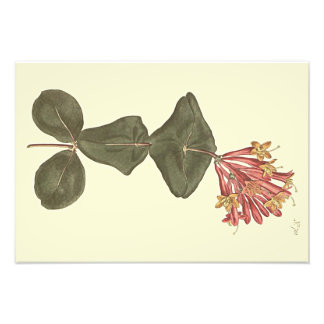 Great Trumpet Honeysuckle Botanical Illustration Photo Print