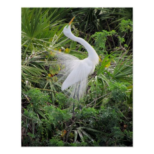 Great White Egret Mating Dance Poster