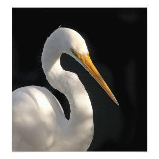 Great White Egret Portrait. Photo