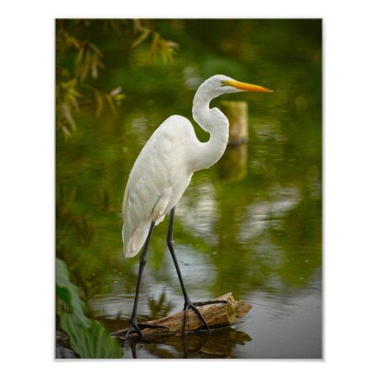 Great White Heron on a Log Photograph Poster