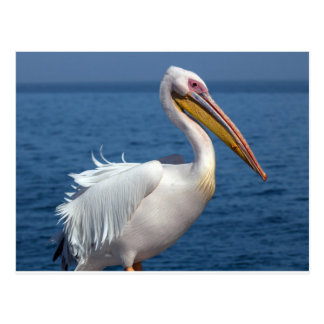 Great white pelican postcard