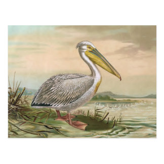 Great White Pelican Vintage Bird Illustration Postcard