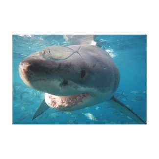 Great White Shark Close-up Portrait Australia Sea Canvas Print