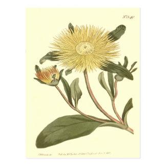 Great Yellow Fig Marigold Illustration Postcard
