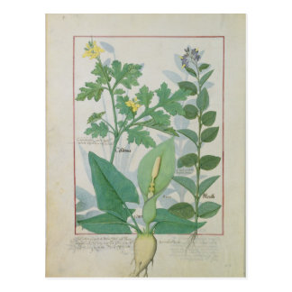 Greater Celandine or Poppy Postcard