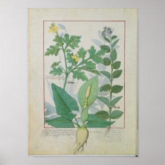 Greater Celandine or Poppy Poster