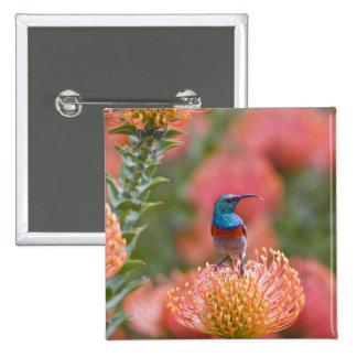 Greater Double-collared Sunbird feeds on 15 Cm Square Badge