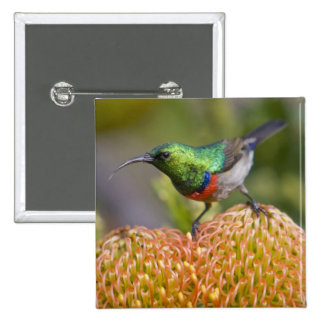Greater Double-collared Sunbird feeds on 2 15 Cm Square Badge