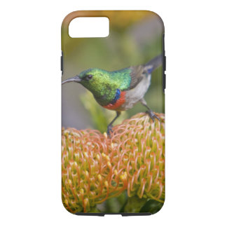 Greater Double-collared Sunbird feeds on 2 iPhone 8/7 Case