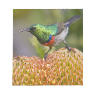 Greater Double-collared Sunbird feeds on 2 Notepad