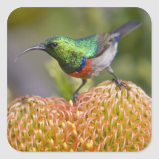 Greater Double-collared Sunbird feeds on 2 Square Stickers