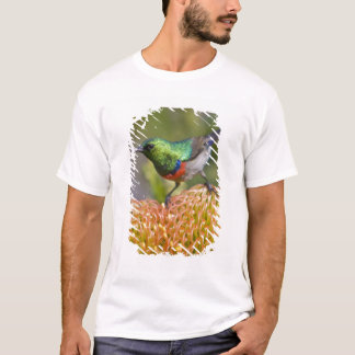 Greater Double-collared Sunbird feeds on 2 T-Shirt