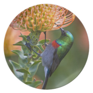 Greater Double-collared Sunbird feeds on 3 Plate