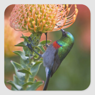 Greater Double-collared Sunbird feeds on 3 Square Sticker