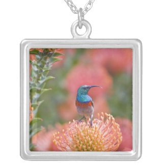 Greater Double-collared Sunbird feeds on Silver Plated Necklace