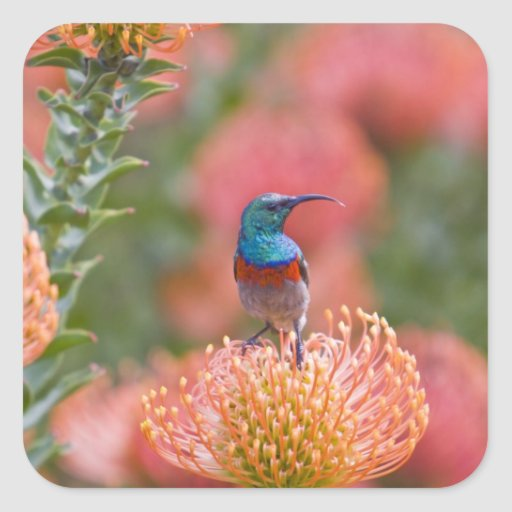 Greater Double-collared Sunbird feeds on Square Sticker