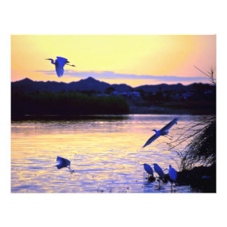 Greater egret lower Colorado River U S A Personalized Flyer