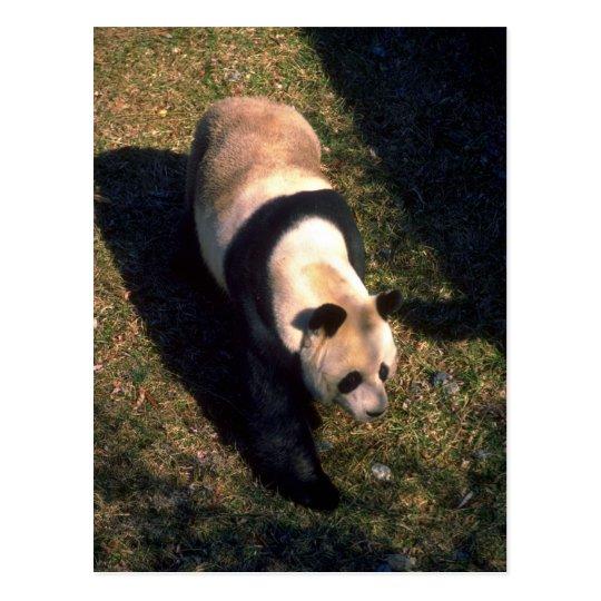 Greater Panda Postcard