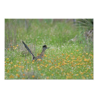Greater Roadrunner, Geococcyx Photo Print
